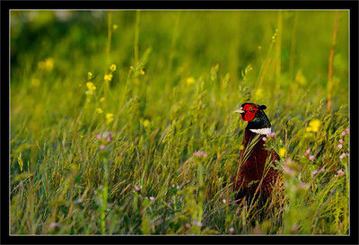 Pheasant in the Fields  A male ring-necked pheasant pops up from hiding to listen to the call of another pheasant.  Palo Alto Baylands Preserve, California  25-APR-2010