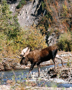 Monster Moose in the Wild