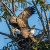 Bald Eagle Taking Off from Nest