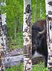 Bison in Aspen