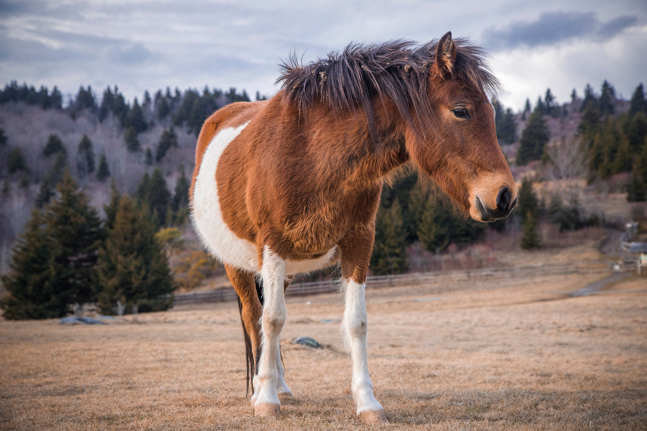 Grayson Highlands Pony