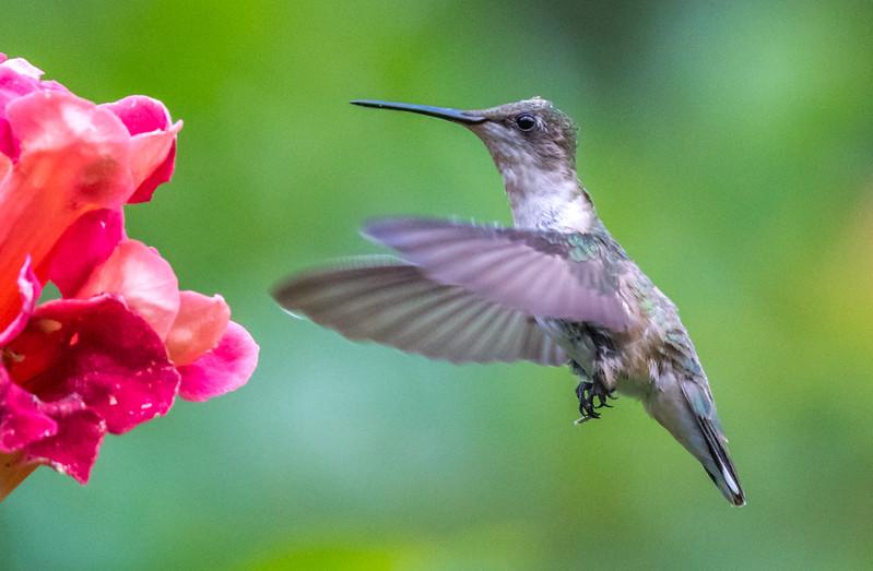 Ruby-Throated Hummingbird 7/26/17
