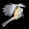 Black-capped Chickadee, Poecile atricapillus, Isolated and Frozen Mid-Flight