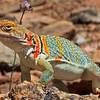 Eastern Collared Lizard in Spring