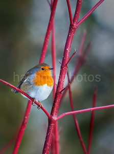 Robin on dogwood