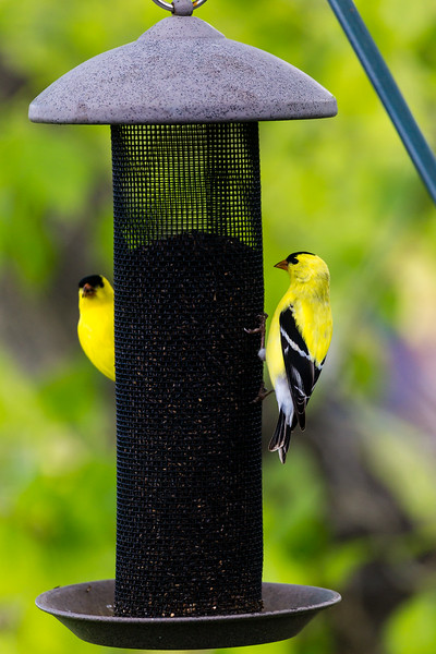 Two GoldFinch on birdfeeder, backyard wildlife, feeding, Colorado, Spring
