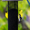 Two GoldFinch on birdfeeder, backyard wildlife, feeding, Colorado, Spring