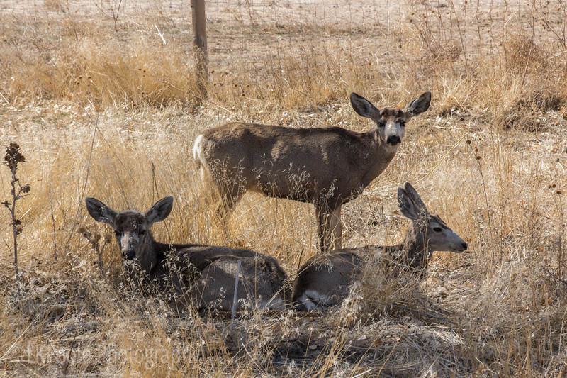 Mule Deer at the Refuge