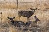 Mule Deer at the Refuge
