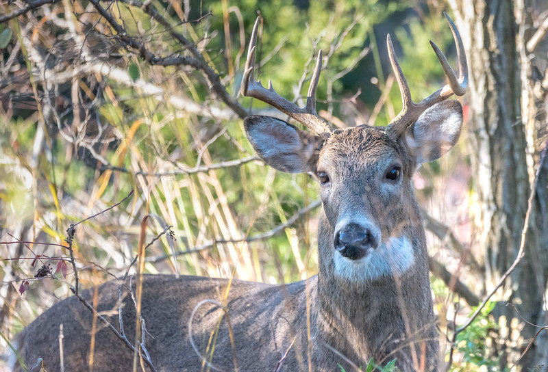White-Tailed Buck 11/11/16