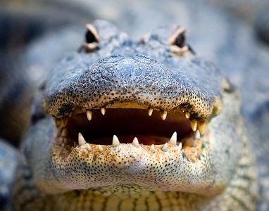 Alligator Teeth - Everglades, Florida