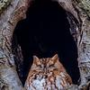 Red Morph Screech Owl 2/27/18