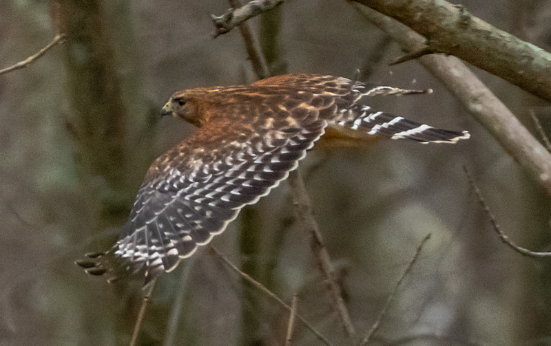 Red-Shouldered Hawk in Flight 1/23/19