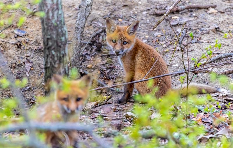 Red Fox Kits 5/1/20