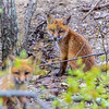 Red Fox Kits 5/1/20