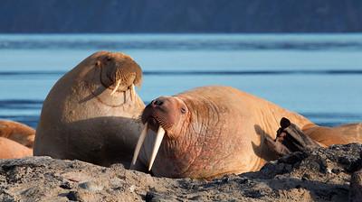 Svalbard Walrus