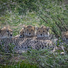 Cheetah and her four cubs resting in the shade, Ndutu, Tanaznia, East Africa