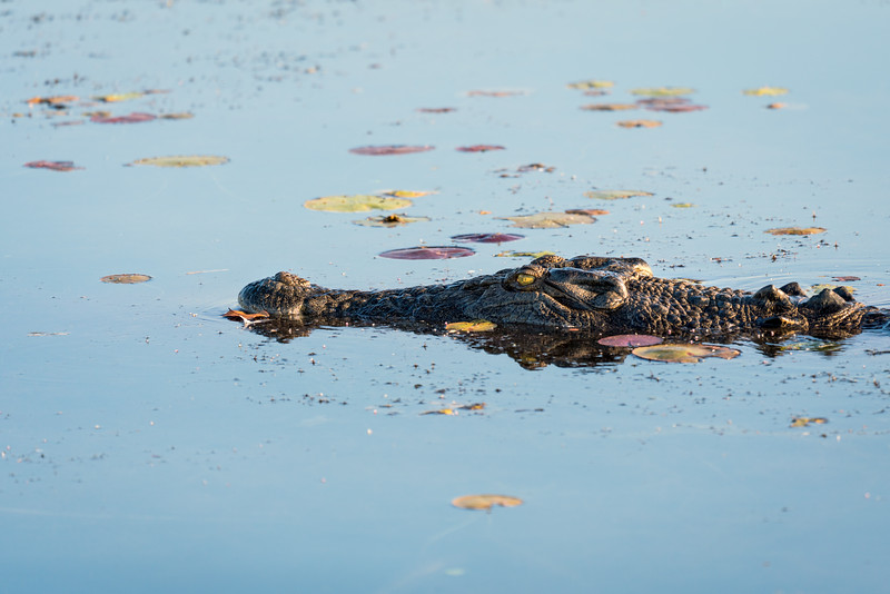Saltwater crocodile, Yellow Water Billabong, Australia.