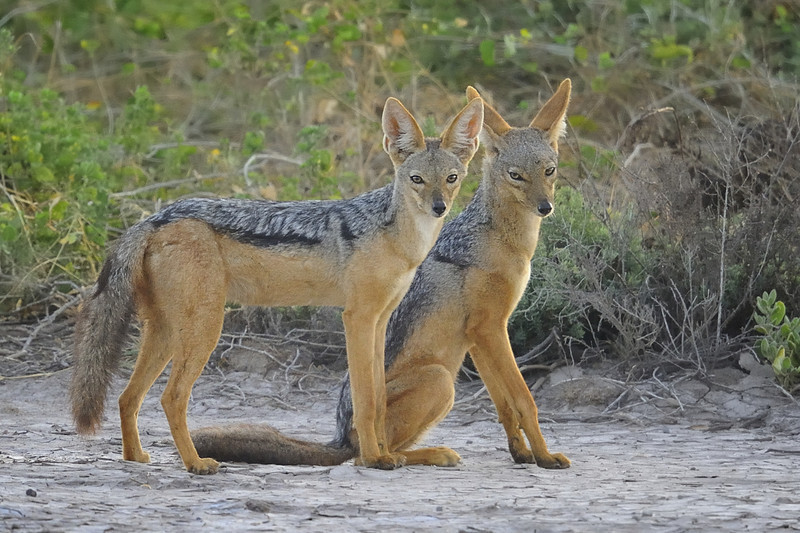 Pair of Black-backed Jackals (Canis mesomelas), Amboseli National Park, Kenya, East Africa
