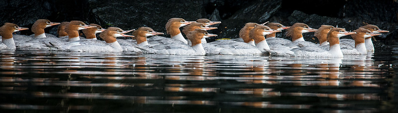 Mergansers on the move!