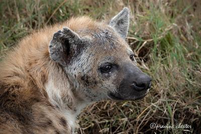 Portratt of a hyena