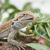 Close up portrait of Bearded Dragon