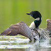 Male Loon with Chicks