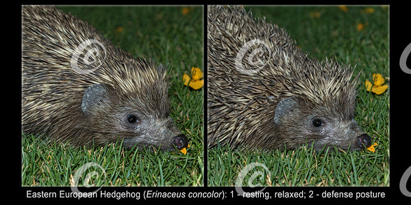 Illustration Comparing Eastern European Hedgehog in Relaxed and Defense Posture