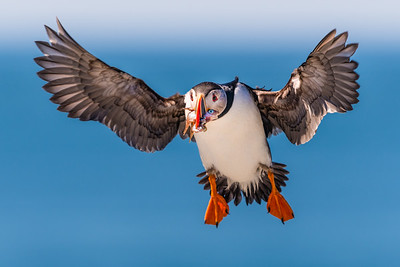 Puffin Inbound with Fish