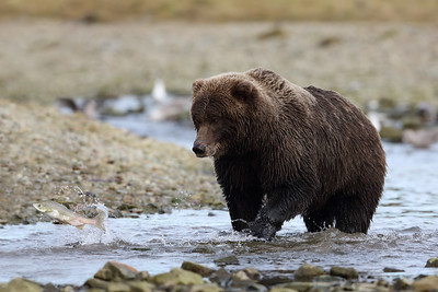Brown Bear and Leaping Salmon, Katmai National Park, Alaska