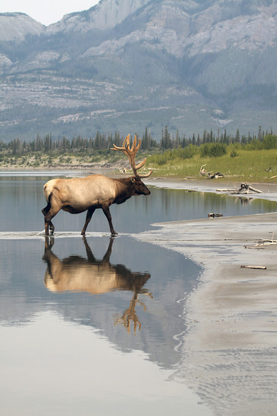 Bull Elk | 16 Point - Jasper National Parks