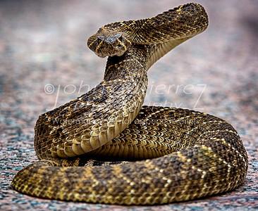 rattlesnake-06