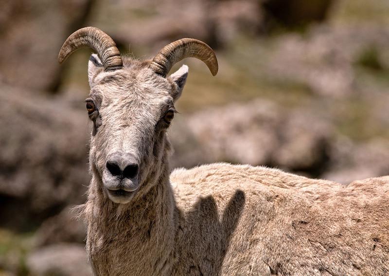 A Juvenile Big Horn Sheep (Ovis canadensis).