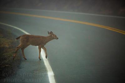 Mule deer cross a Hurricane Ridge Road in Olympic National Park in Washington.  Photo by Kyle Spradley | © Kyle Spradley Photography | www.kspradleyphoto.com