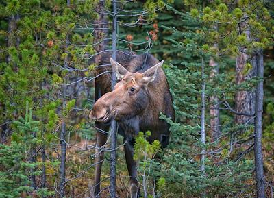 Flirting Cow Moose