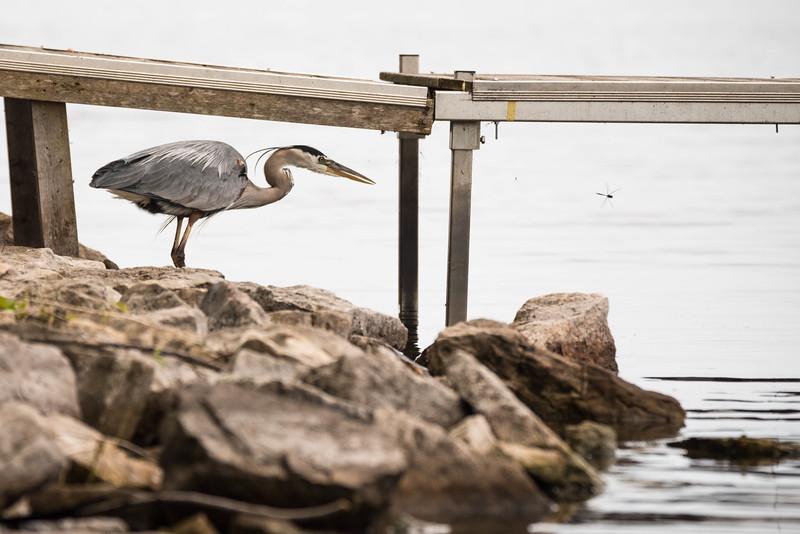 Great blue heron vs dragonfly