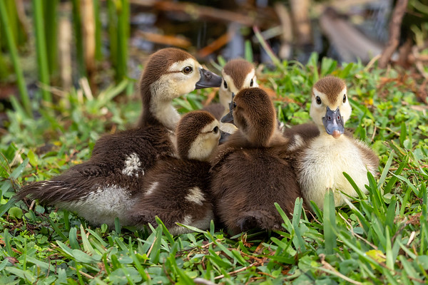 Ducklings at Lily Lake in Maitland Florida