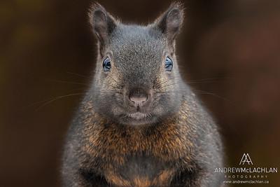 Eastern Gray Squirrel (Sciurus carolinensis), Black Phase, Thornton, Ontario, Canada