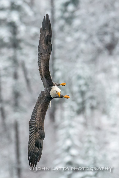 Bald Eagle Readies to Dive