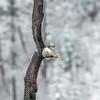 Bald Eagle Readies to Dive