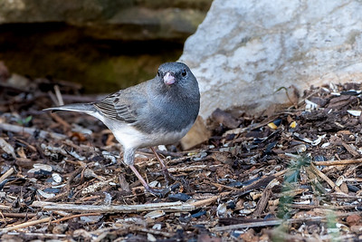 393- Dark-eyed Junco