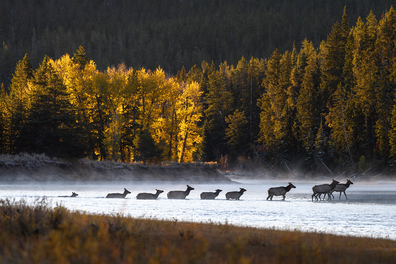 Elk crossing the Snake River just after sunrise, Grand Teton National Park, Wyoming