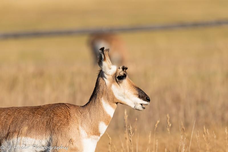 Sideview closeup of Pronghorn Antelope
