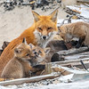 Red Fox Kits & Mama 4/19/21