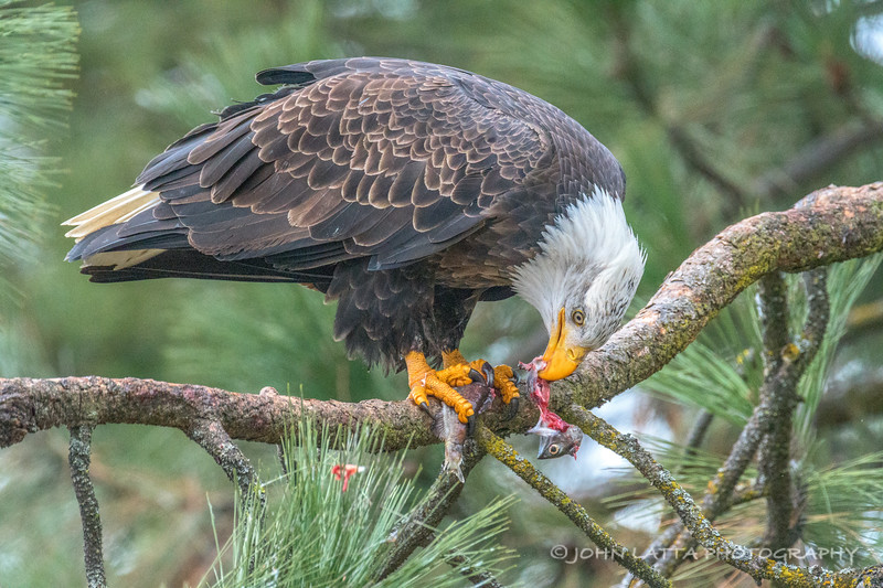 Bald Eagle Eating Kokanee Salmon