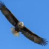 Bald Eagle Scanning for Kokanee