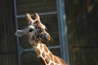 Giraffe showing tongue while it eats