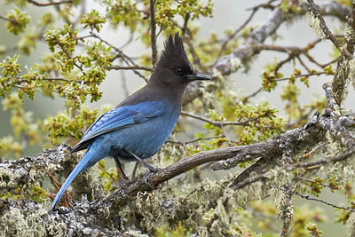 Steller's Jay at Pinnacles
