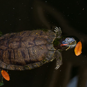 A turtle at Lake Lily in Maitland Florida