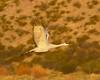 Illuminated Sandhill Crane Flight